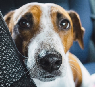 close up photo of jack russell terrier on vehicle
